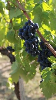 Weintrauben pulchra